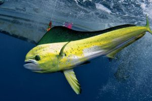 Dorado San Juan Del Sur Deep Sea Fishing