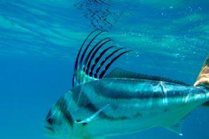 Rooster Fish San Juan Del Sur Deep Sea Fishing