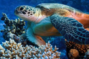 Sea-Turtle-Little-Corn-Island